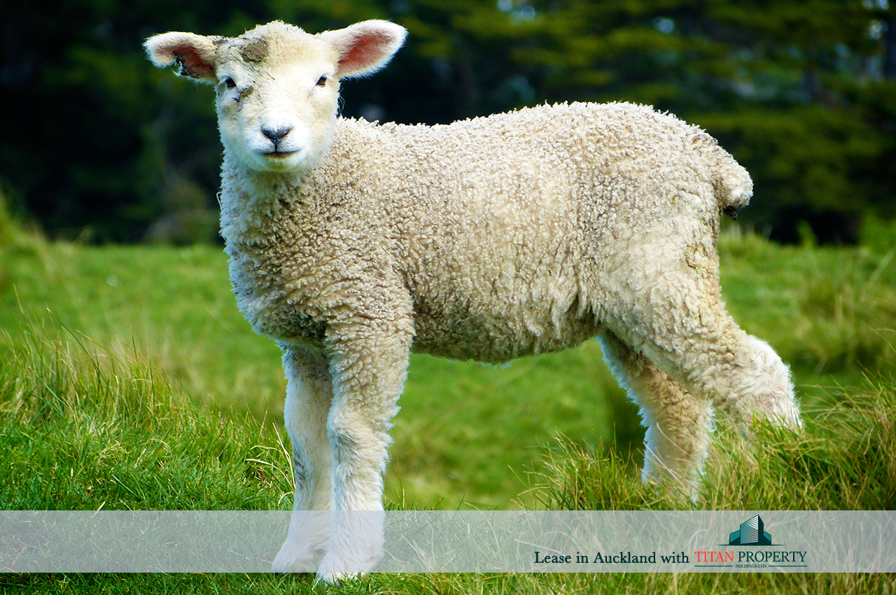 NZ lamb in paddock - Titan Property